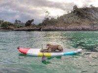 Perro en una tabla de paddle surf