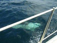 Balene di Calderon