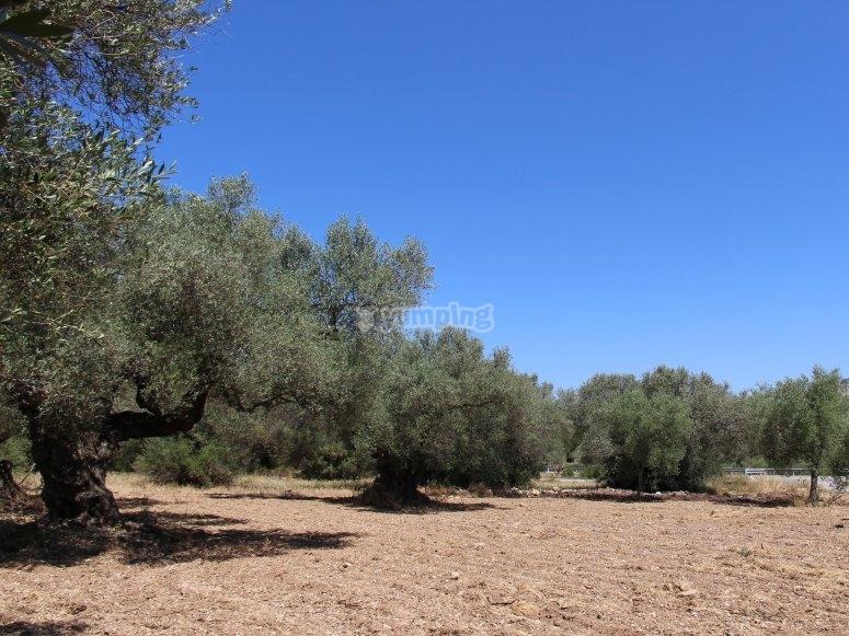 Viendo olivos durante la ruta en buggie