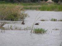 aves acuaticas en un embalse.JPG