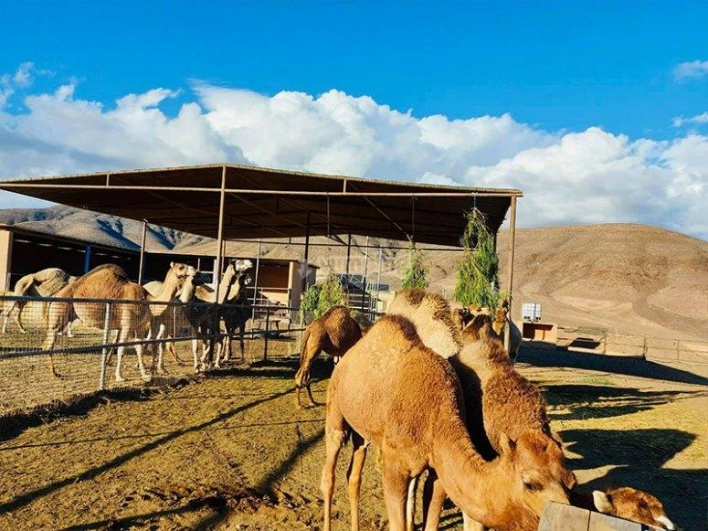 准备我们的骆驼路线