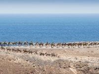 穿过富埃特文图拉岛的骆驼游览