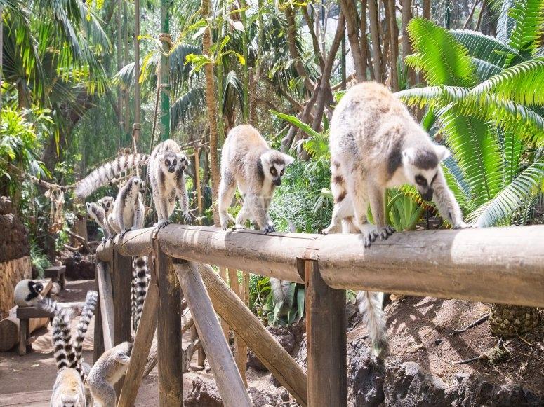 Rangée de lémuriens