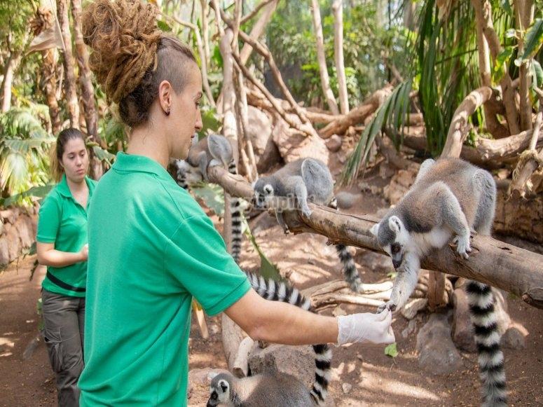 Moniteurs avec lémuriens