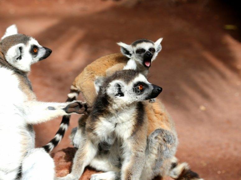 Lémuriens jouant