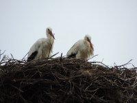 Pareja de cigüeñas en el nido