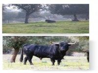 Bull breeding