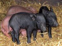 Cerdos peques