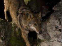 Costumbres del lobo