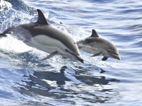Excursion de avistamiento de delfines en Tenerife