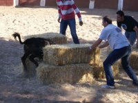 塔兰孔的小母牛躲藏