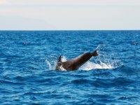 Delfines jugando en Palm Mar