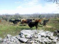 Nuestro ganado