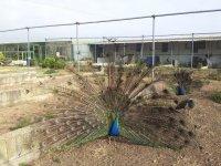 Pavo real en la granja de Albacete