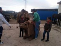 Showing the dromedaries to the little ones