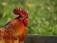 gallo en la granja del campamento
