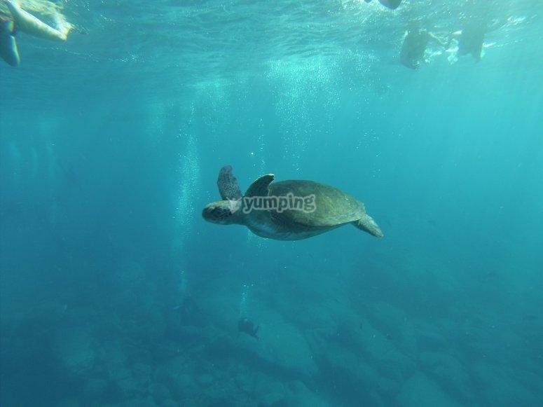 Nadar con tortugas en Tenerife