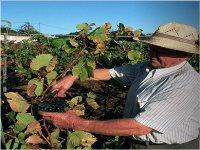 Enoturismo   selección de uvas