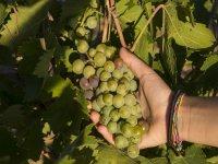 Racimo de uvas del Penedes