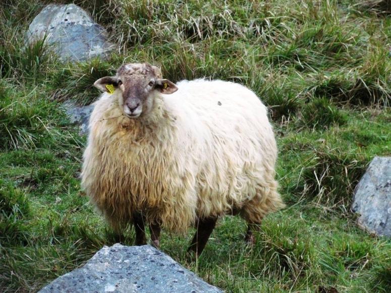 在吉普斯夸农场的绵羊