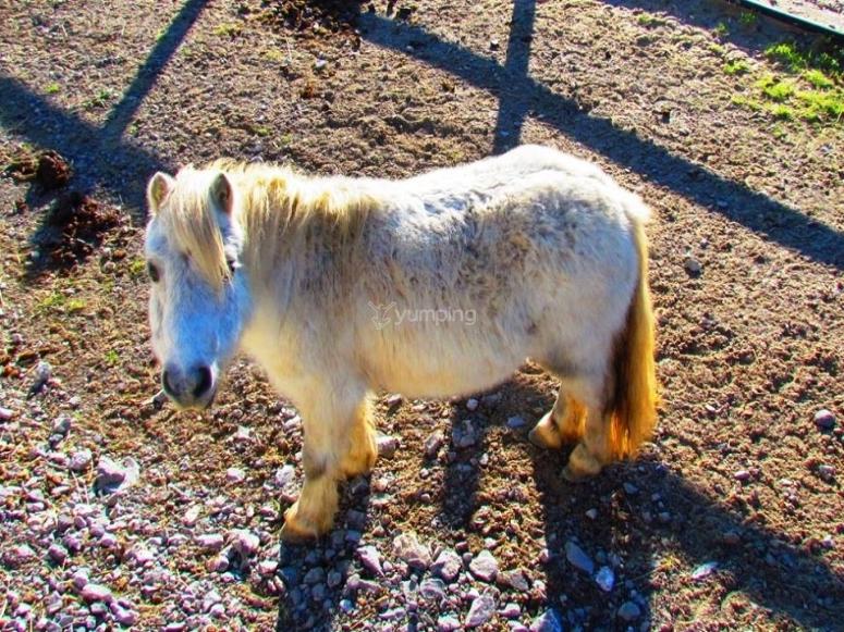 在萨斯塔林谷学校农场的小马
