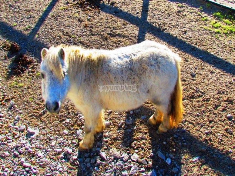 Pony nano