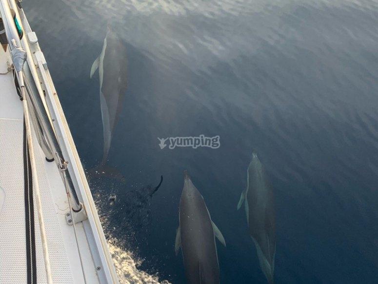 Viendo delfines durante nuestro paseo en velero