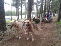 perros de trineo entre los arboles.jpg