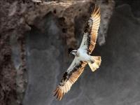 在东戈梅拉悬崖上的鱼鹰