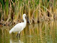 stork walking through a lake