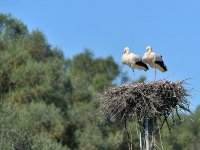 two storks in its nest