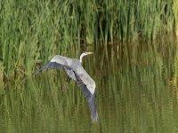 heron flying a lake