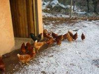 Corral de gallinas.