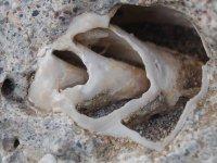 Fosil strombus
