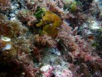 Caballito de mar oculto