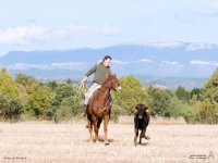 Running on horseback behind the heifer