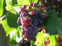 Racimo uvas Ribera de Duero