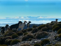 Goats in the mountains in Jaen