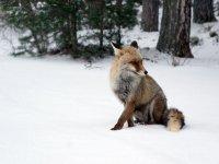 Zorro sobre la nieve