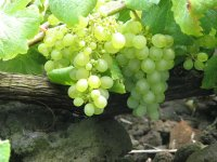 White grapes in the vine