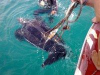 Salvataggio di tartarughe marine