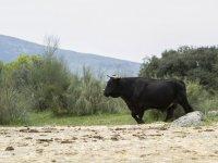 Toro de ganaderia propia