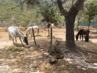 Horses resting under the tree