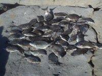 hoy hemos pescado jargos