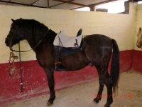 Nuestro caballo Azabache
