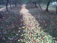 preparados para recolectar las manzanas
