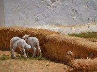 Ovejas en la granja escuela en Sevilla