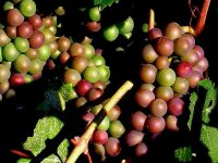 The maturation of the grape