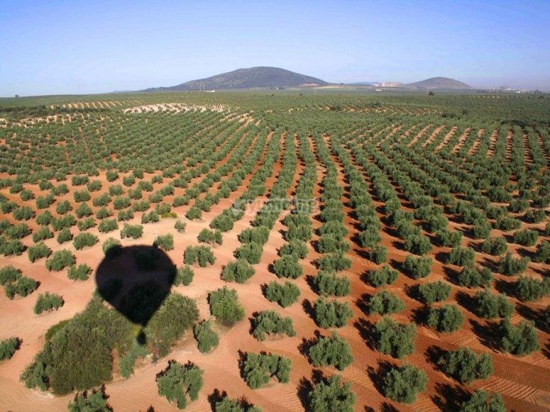 在安特克拉橄榄树的气球