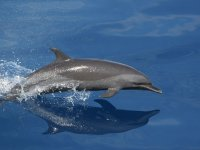 Delfin che salta nel mare